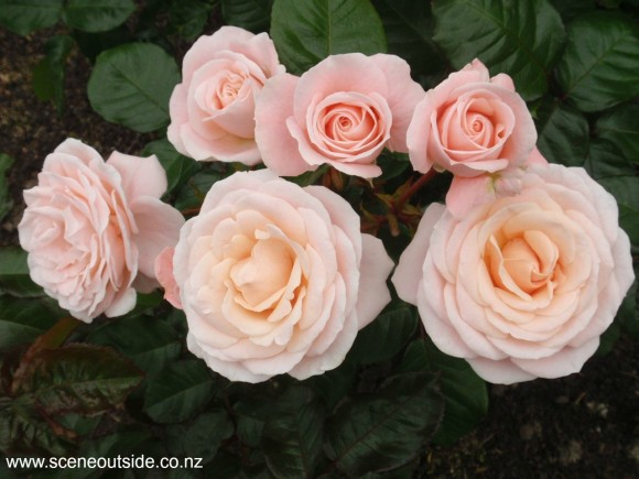 rosa-dear-one