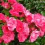 rosa-flower-carpet-pink.jpg