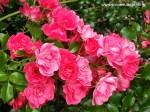 rosa-flower-carpet-pink