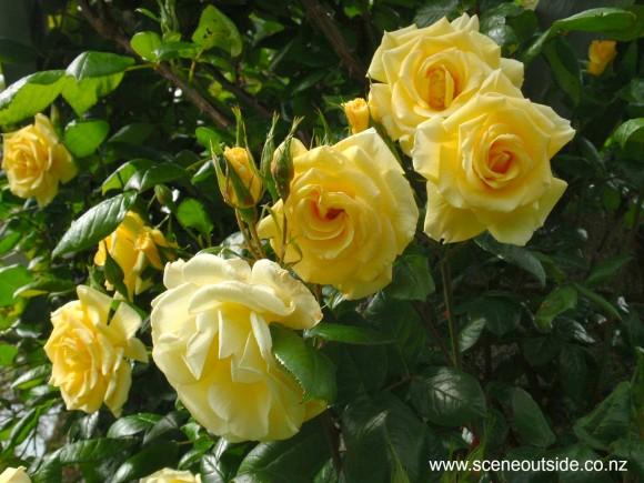 rosa-golden-future