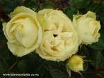 rosa-lemon-n-lime