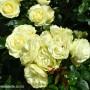 rosa-lemon-n-lime.jpg