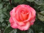 rosa-paddy-stephens