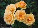rosa-queen-wilhelmina