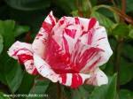 rosa-scentimental