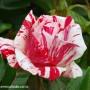 rosa-scentimental-2.jpg