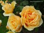 rosa-valencia