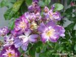 rosa-veilchenblau