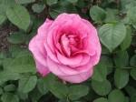 rosa-waimarie