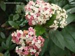 viburnum-tinus-eve-price